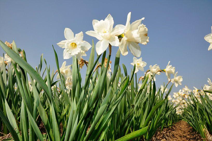 Narcissen in het voorjaar van Roelof Foppen