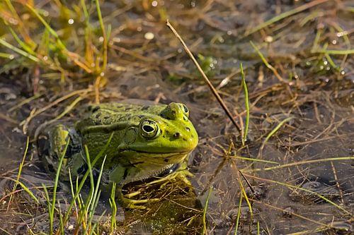 groene kikker in de poel