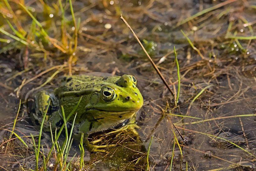 grüner Frosch im Pool von Kristof Lauwers
