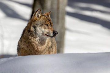 Wolf in de sneeuw van Rob Nennie