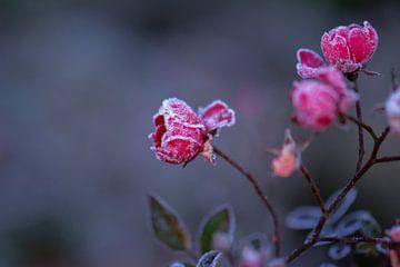 bevroren roosjes van