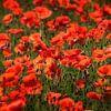 Poppies van Ruud Peters thumbnail