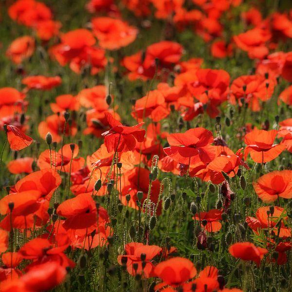 Poppies van Ruud Peters