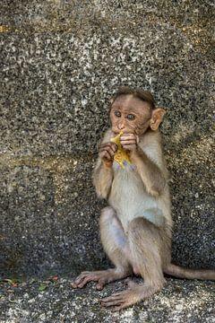 Een jonge Makaak aap van Joost Potma