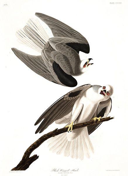 Amerikaanse Grijze Wouw van Birds of America