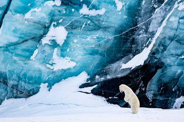 Jagende ijsbeer van Sam Mannaerts Natuurfotografie