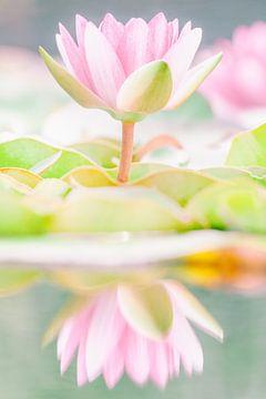 Die rosa Seerose von Martin Bergsma