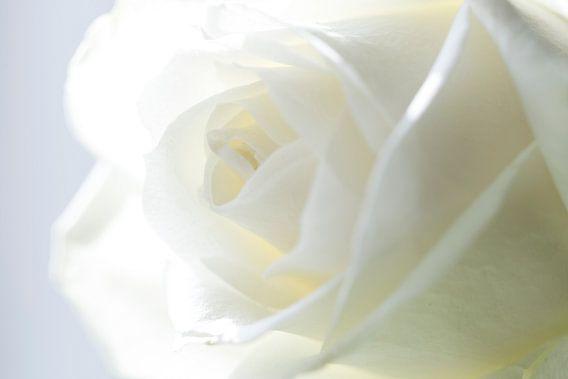 Witte Roos (Macro)