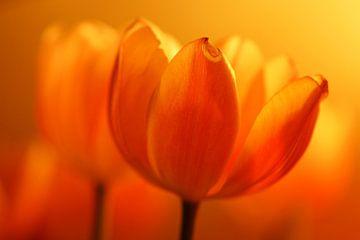 Tulpen in vuur en vlam (dutch tulips) van Cocky Anderson