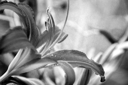 LILY - BLACK AND WHITE