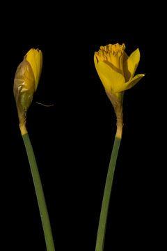 Narcissen van Stephan Van Reisen