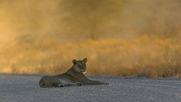 Löwin mit Sonnenuntergang von Francois du Plessis