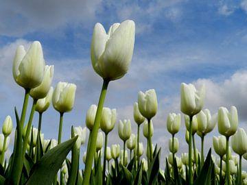 Witte tulpen von Sasja Giezenberg