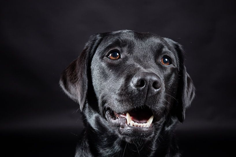 Zwarte hond, Labrador Retriever van Hennnie Keeris