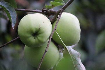 Appels van Marilla van der Knoop