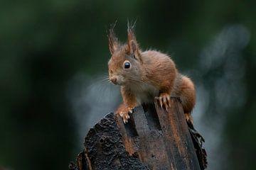 Neugieriges Eichhörnchen auf einem Baumstamm. von Albert Beukhof