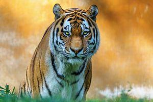 Sibirischer Tiger von Marcel Kieffer