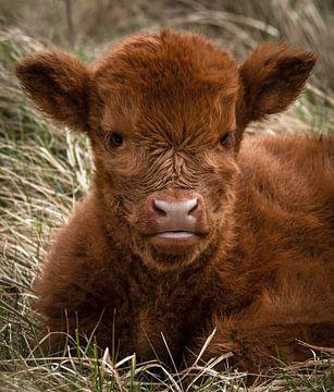 Schotse Hooglander: jong kalf in het gras van Marjolein van Middelkoop