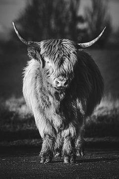 Schottischer Highlander - Schwarz und weiß von Nicky Kapel