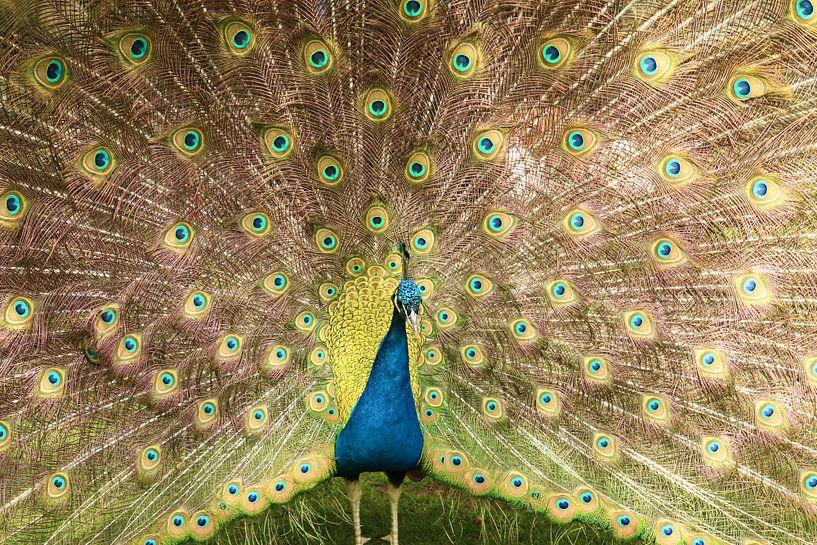 Un paon bleu et vert étalant ses plumes sur Jennifer Hendriks