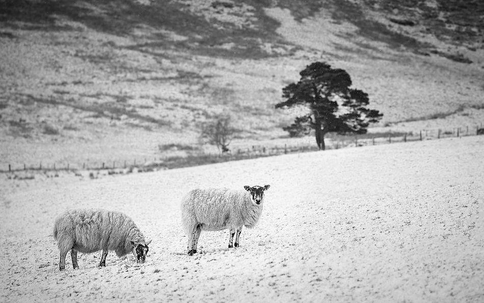 Sheep, snow, tree