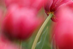 Rode Tulpen in bollenveld