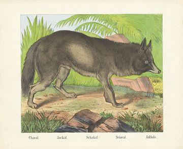 Jakhals, Firma Joseph Scholz, 1829 - 1880