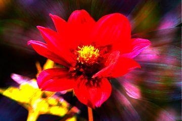 rot , blühende  Dahlie,abstrakt,Blume von Torsten Krüger