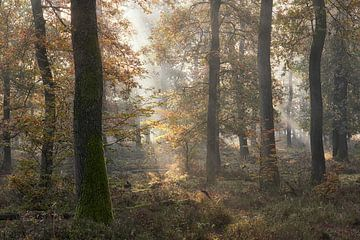 Mystiek licht in het eikenbos