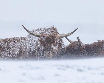 Hooglanders schuilen in sneeuwstorm van natascha verbij