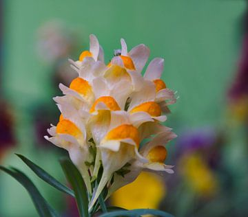 Wilde bloem 'het vlasbekje' van J..M de Jong-Jansen