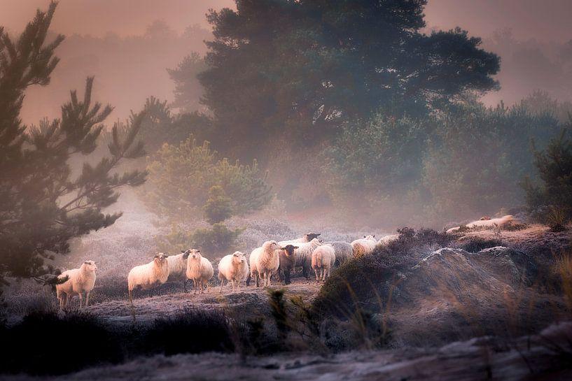 Troupeau de moutons sur le sable d'Aekinger sur Ton Drijfhamer