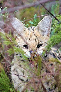 Servalkatze von Christiaan Van Den Berg