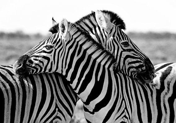 knuffelende zebra's van Jan van Reij