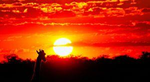 Giraffe genießt den Sonnenuntergang, Namibia von
