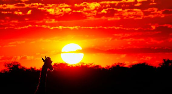 Giraffe watching the sunset, Namibia van W. Woyke
