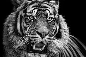 Tigre sur Helma Tielemans