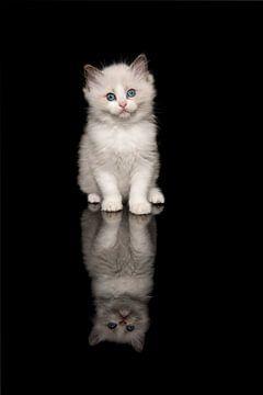 Niedliche ragdoll Kätzchen mit blauen Augen auf einem schwarzen Hintergrund von Elles Rijsdijk