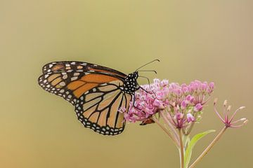 Monarch vlinder. van Frank van Middelkoop