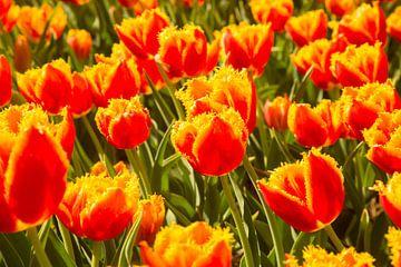 tulipes sur Carlien schelhaas