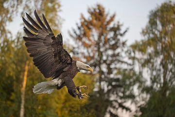 adelaar vliegend van Carla Odink