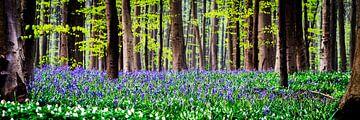 Violette Hallerbos-Buchstaben-Blüte von Frank Van Durme