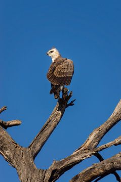 Roofvogel in het Krugerpark, Zuid-Afrika van Just Go Global