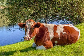 Roodbonte koe herkauwend in het gras van Ruud Morijn