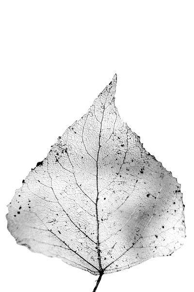 Poreus blad. van Pieter van Roijen
