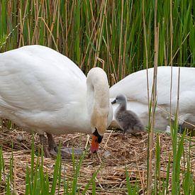 Zwaan verlaat het nest van Bob de Bruin