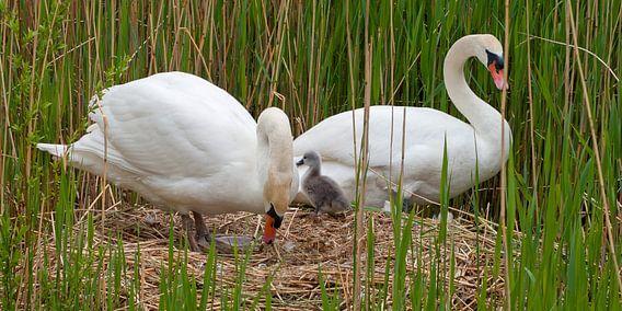 Zwaan verlaat het nest