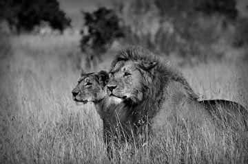 Zwei Gefährten in Schwarz Weiß, Löwen in der Maasai Mara von Catalina Morales Gonzalez