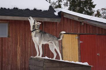 huilende husky hond van Andrea Ooms
