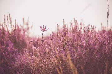 Heide in bloei van Inge Smulders
